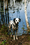 Dalmation standing by lake Stock Photography