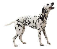 Dalmation Standing on White Stock Photos