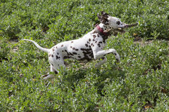 Dalmation wood. Dalmation dog running with a piece of wood on a field stock photos
