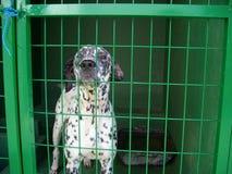 Dalmationhond in een hondpond Stock Afbeelding