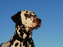 Dalmatisch Stock Fotografie