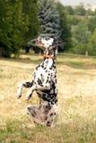 Dalmatisch Royalty-vrije Stock Foto