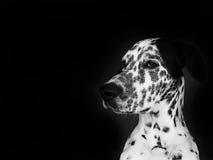 Dalmatisch royalty-vrije stock afbeeldingen