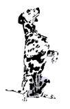 dalmatisch Stock Afbeelding