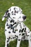 Dalmatisch Stock Afbeeldingen
