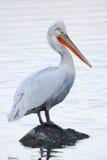 Dalmatisch pelikaanportret Stock Afbeeldingen