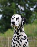 Dalmatisch portret Royalty-vrije Stock Foto
