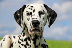 Dalmatisch portret Royalty-vrije Stock Fotografie