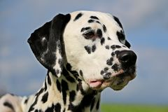 Dalmatisch portret Stock Foto's