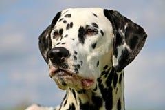 Dalmatisch portret Stock Foto