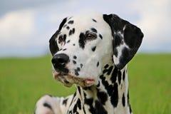 Dalmatisch portret Stock Fotografie