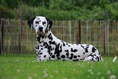 Dalmatisch Portret in de tuin Stock Foto