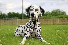 Dalmatisch Portret in de tuin Royalty-vrije Stock Afbeelding