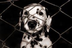 Dalmatisch Puppy Stock Foto