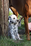Dalmatisch puppy Stock Foto's