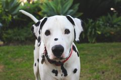 Dalmatisch puppy in de tuin royalty-vrije stock fotografie