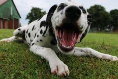 Dalmatisch puppy in de tuin Royalty-vrije Stock Foto's