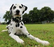 Dalmatisch puppy in de tuin Royalty-vrije Stock Afbeelding
