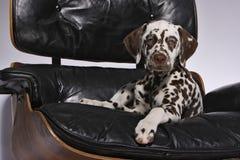 Dalmatisch Puppy op stoel Royalty-vrije Stock Foto