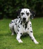 Dalmatisch wijfje dat in gras ligt Stock Foto's