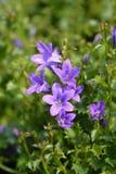 Dalmatische bellflower stock foto's