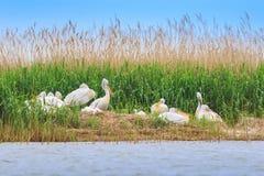Dalmatische crispus van pelikanenpelecanus Royalty-vrije Stock Foto's