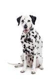 Dalmatische die hond, op wit wordt geïsoleerd Stock Foto's