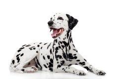 Dalmatische die hond, op wit wordt geïsoleerd Stock Fotografie