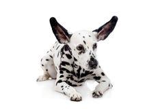 Dalmatische die hond, op wit wordt geïsoleerd Stock Foto