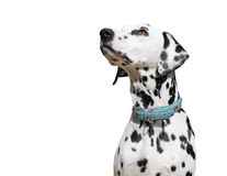 Dalmatische die hond op witte achtergrond wordt geïsoleerd royalty-vrije stock afbeeldingen