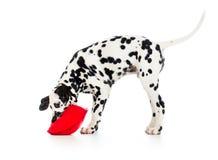 Dalmatische die puppyhond op wit wordt geïsoleerd Stock Foto's
