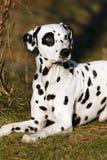 Dalmatische hond Stock Afbeelding
