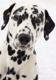 Dalmatische hond Royalty-vrije Stock Afbeelding