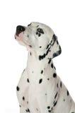 Dalmatische hond Royalty-vrije Stock Foto's