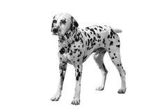 Dalmatische hond Royalty-vrije Stock Fotografie