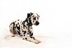 Dalmatische hond Stock Foto