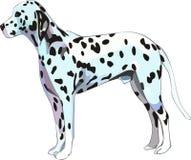 Dalmatische hond Stock Foto's