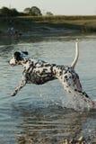 Dalmatische hond die in een meer lopen Royalty-vrije Stock Foto's