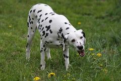 Dalmatische hond die gras eet Stock Afbeeldingen