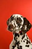 Dalmatische hond die op een rode achtergrond wordt geïsoleerdr Royalty-vrije Stock Foto's
