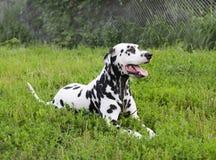 Dalmatische hond die op groen gras liggen Royalty-vrije Stock Afbeeldingen