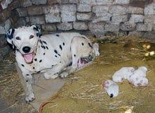 Dalmatische hond, MET de pasgeboren SLECHTS ÉÉN DAG van BABES Stock Afbeeldingen
