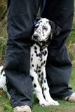 Dalmatische hond tussen benen Stock Foto