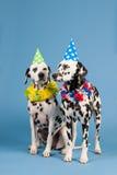 Dalmatische honden als verjaardagsdieren op blauwe achtergrond Stock Foto