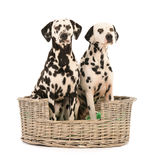 Dalmatische honden in rieten mand Stock Fotografie