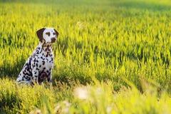 Dalmatische hondzitting in weide Stock Foto