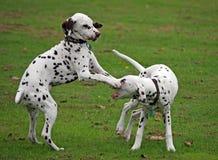 Dalmatische jongen Stock Afbeelding
