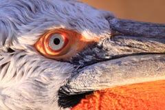 Dalmatische pelikaan Royalty-vrije Stock Afbeelding