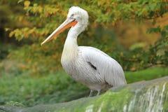 Dalmatische pelikaan Royalty-vrije Stock Afbeeldingen
