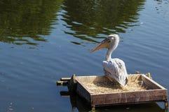 Dalmatische pelikaan Royalty-vrije Stock Foto